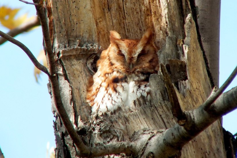 Eastern Screech Owl - Red Morph at Woodland Cemetery in Burlington, Ontario, Canada