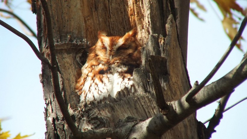 Eastern Screech Owl - Red Morph sleeping in a tree at Woodland Cemetery in Burlington, Ontario, Canada
