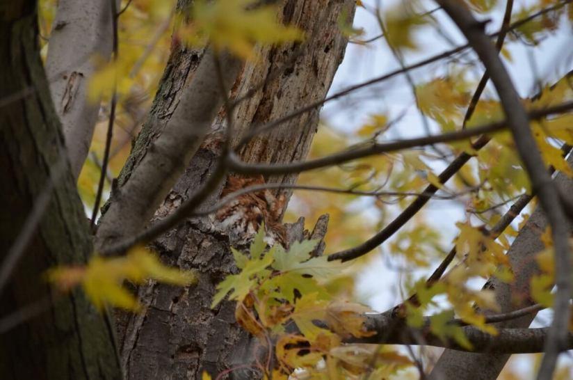 Eastern Screech Owl in Woodland Cemetery in Burlington, Ontario, Canada