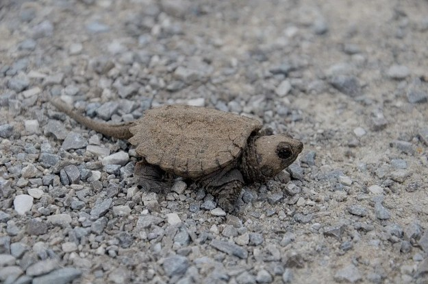 baby snapping turtle - aurora - ontario 1