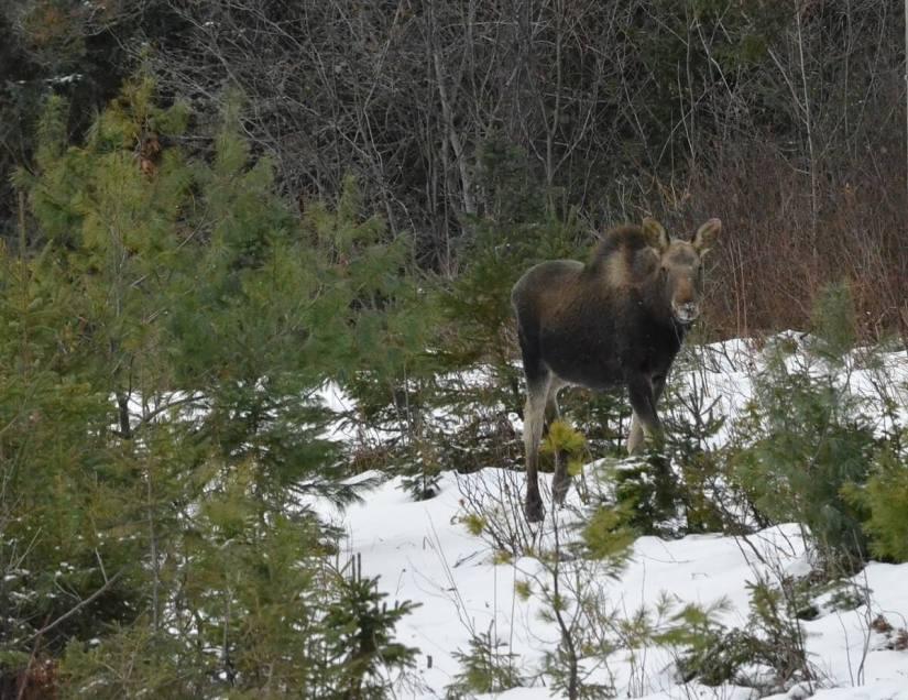 calf moose in algonquin park_ontario 3