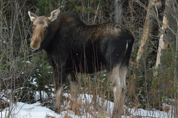 cow moose in algonquin park_ontario 3