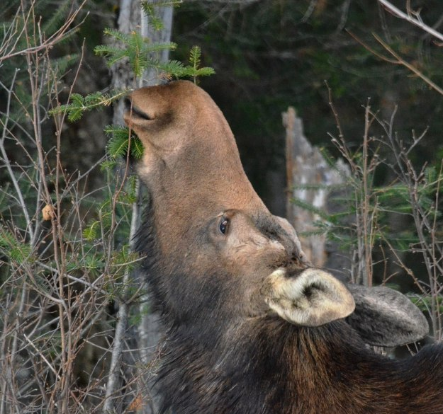 cow moose in algonquin park_ontario 8