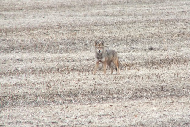 eastern coyote near saintfield, ontario pic 2