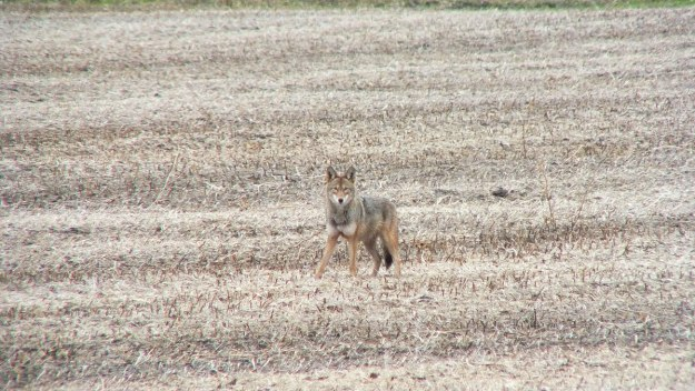 eastern coyote near saintfield, ontario pic 3