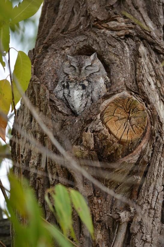 eastern screech owl gray morph_lasalle park_burlington_ontario 6