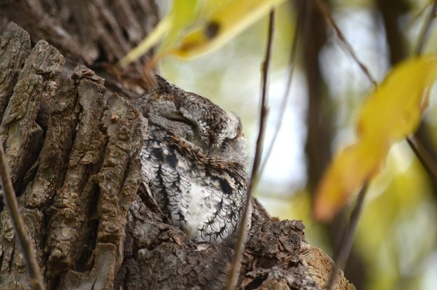 eastern screech owl gray morph_lasalle park_burlington_ontario 9