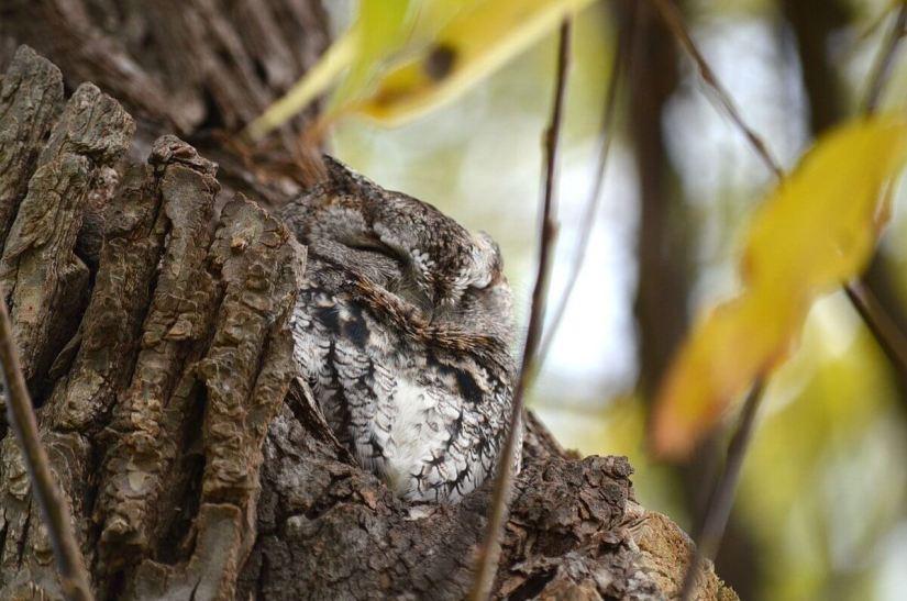 eastern screech owl gray morph_lasalle park_burlington_ontario 9