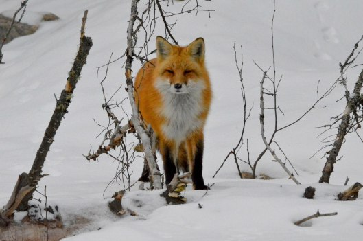 Red fox in the winter in Algonquin Park, in Ontario, Canada