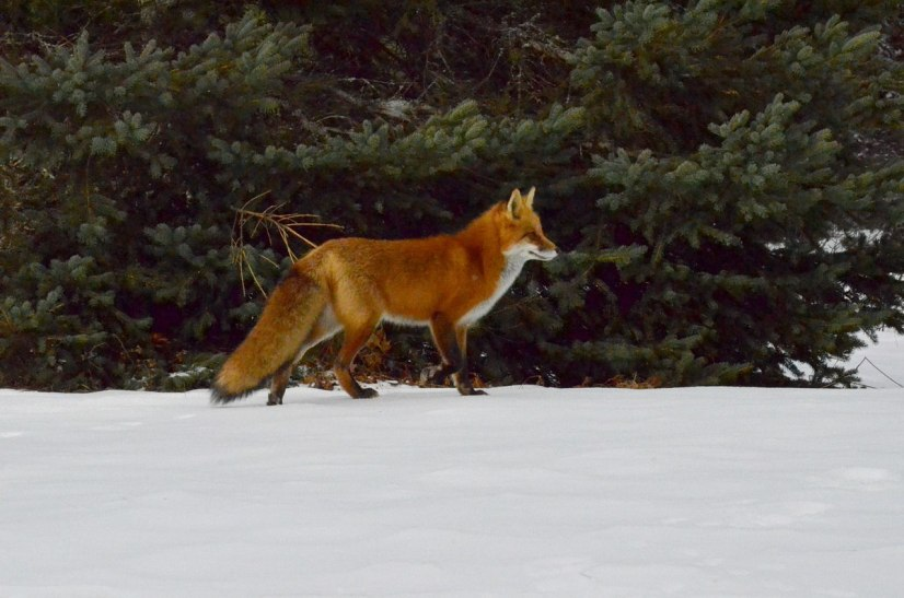 red fox in algonquin park - november 2014 pic 8