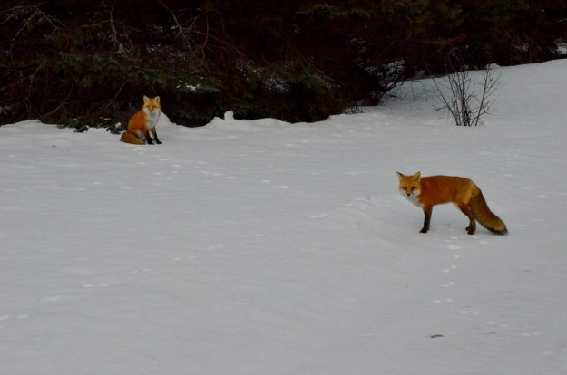 red foxes in algonquin park - november 2014 pic 2