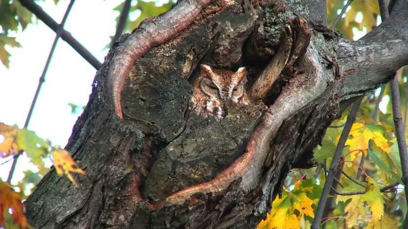 tan morph eastern screech owl_burlington_ontario 12