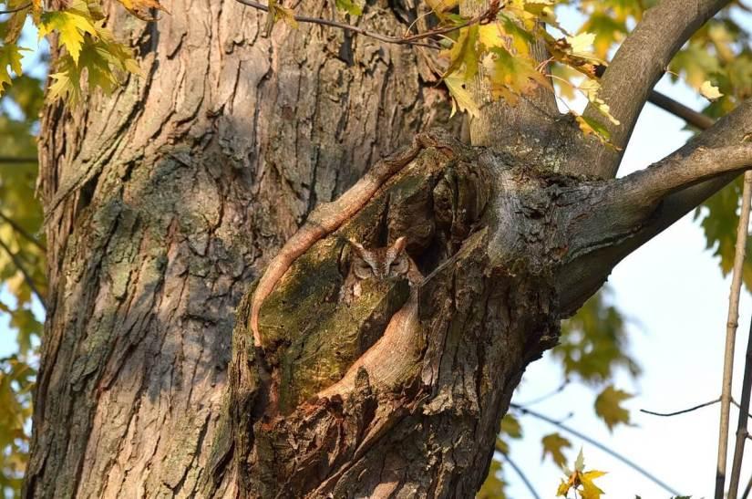 tan morph eastern screech owl_burlington_ontario_ 1