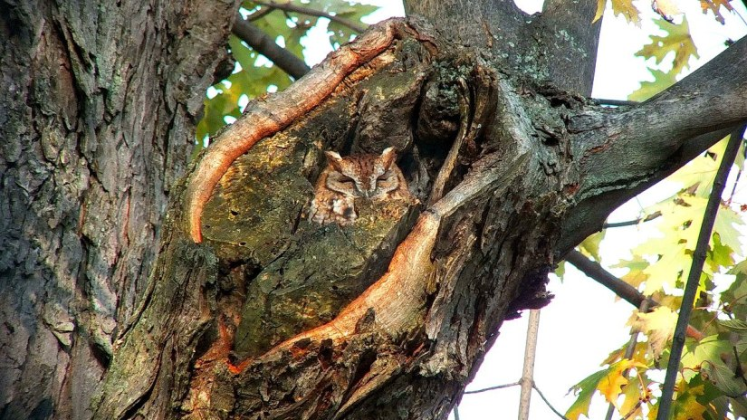 tan morph eastern screech owl_burlington_ontario_ 4