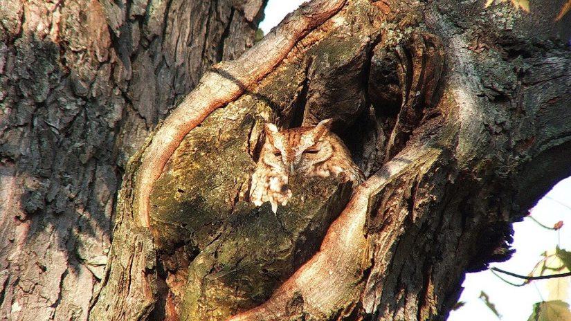 tan morph eastern screech owl_burlington_ontario_ 5