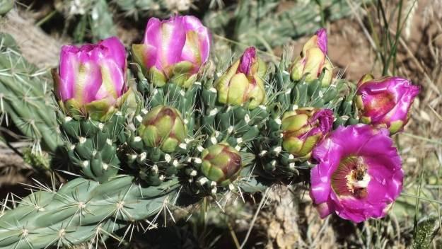 Cactaceae cactus, mesa verde national park, 6