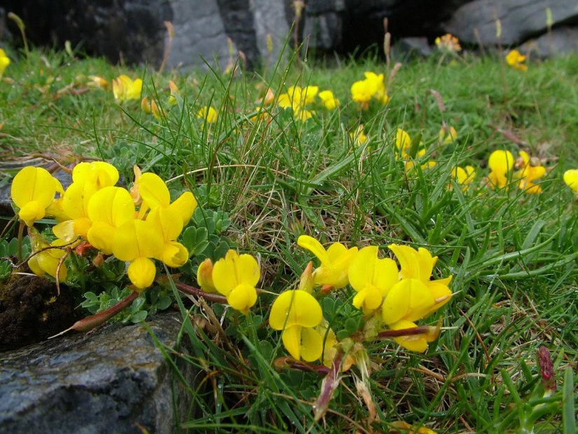 An image of Common Bird's-foot Trefoil growing on Inishmore Island in Ireland. Photography by Frame To Frame - Bob and Jean.