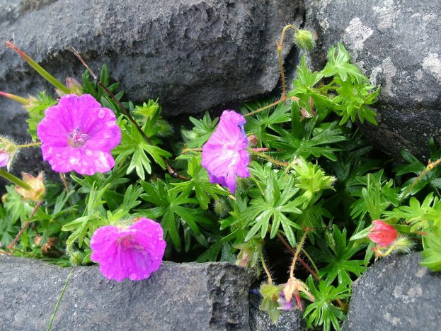 An image of Bloody Cranesbill Geranium growing on Inishmore Island in Ireland. Photography by Frame To Frame - Bob and Jean.
