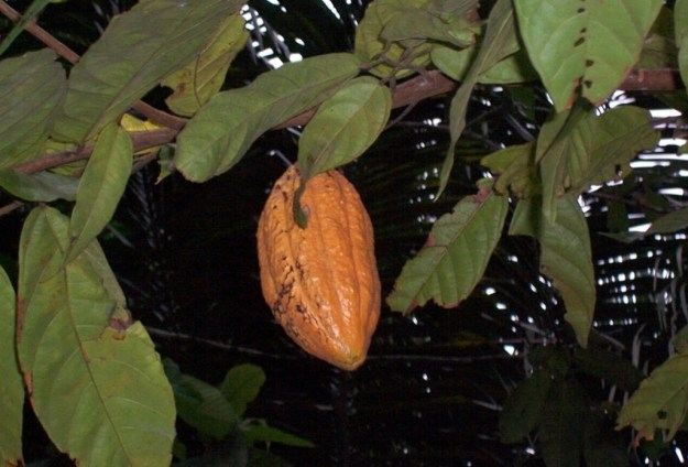 A yellow chocolate pod hanging on tree at Sandoval Lake Lodge, Lake Sandoval, Amazon Delta, Peru