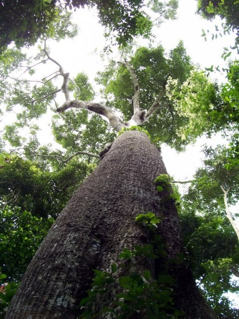 Giant rainforest tree at Sandoval Lake Lodge, Lake Sandoval, Amazon Delta, Peru