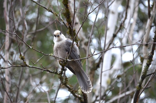 gray jay in algonquin provincial park - ontario - pic 6