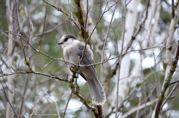 gray jay in algonquin provincial park - ontario - pic 7