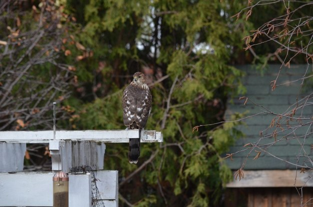 juvenile coopers hawk on arbour - toronto - ontario 2