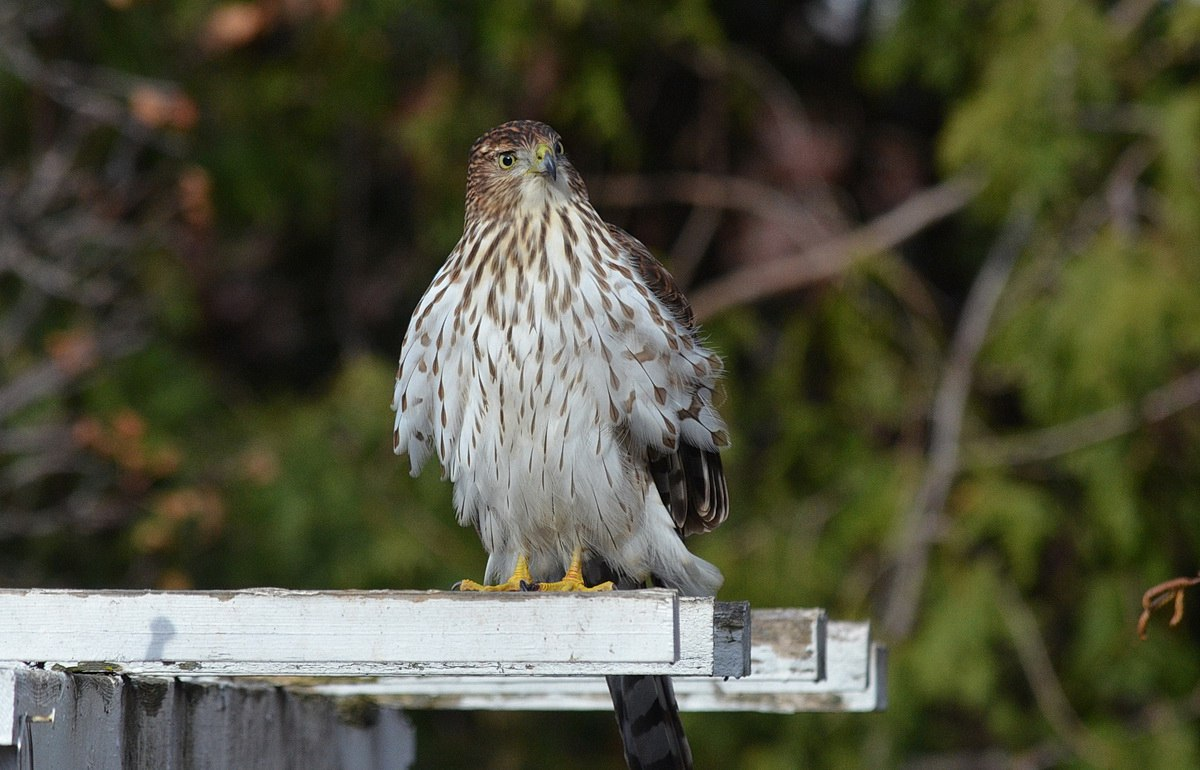 a juvenile coopers hawk stakes out our backyard