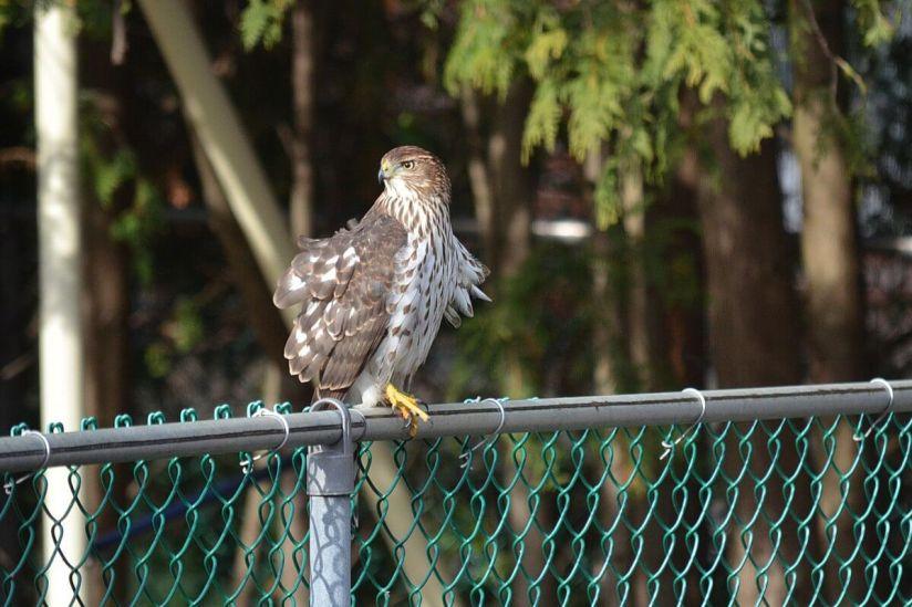 juvenile coopers hawk on fence - toronto - ontario 2