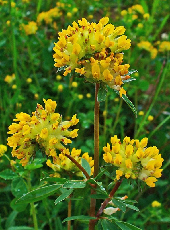 An image of kidney vetch with yellow flowers growing wild in Ireland.