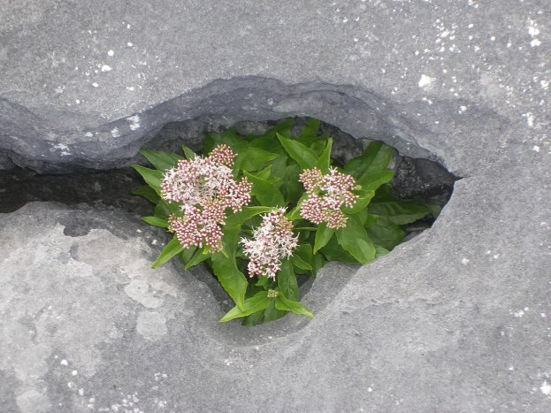 An image of Hemp-Agrimony growing among rocks on Inishmore Island in Ireland. Photography by Frame To Frame - Bob and Jean.