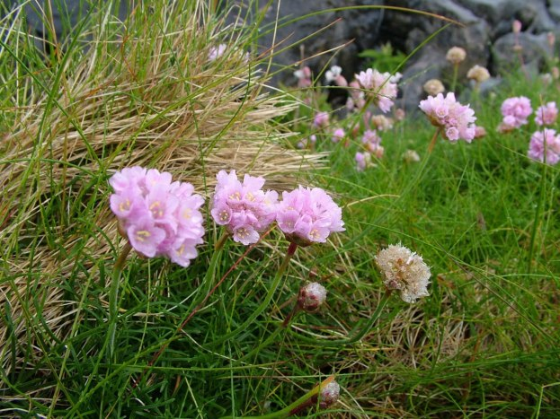An image of pink colored Thrift growing on Inishmore Island in Ireland. Photography by Frame To Frame - Bob and Jean.