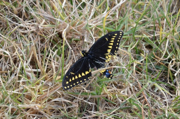 black swallowtail butterfly at pyramid of san felipe de los alzati, zitacuaro, mexico