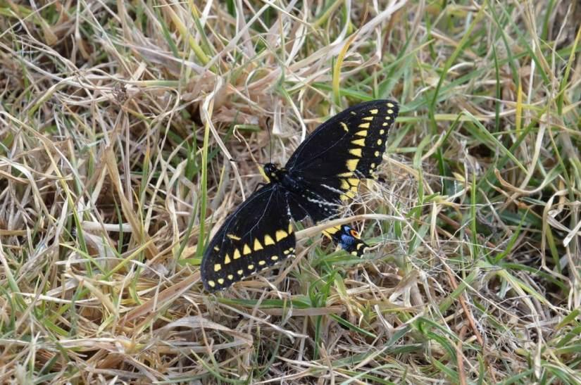 black swallowtail butterfly at pyramid of san felipe de los alzati, zitacuaro, mexico