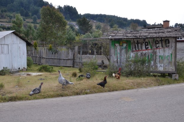 chickens and roster near angangueo - mexico