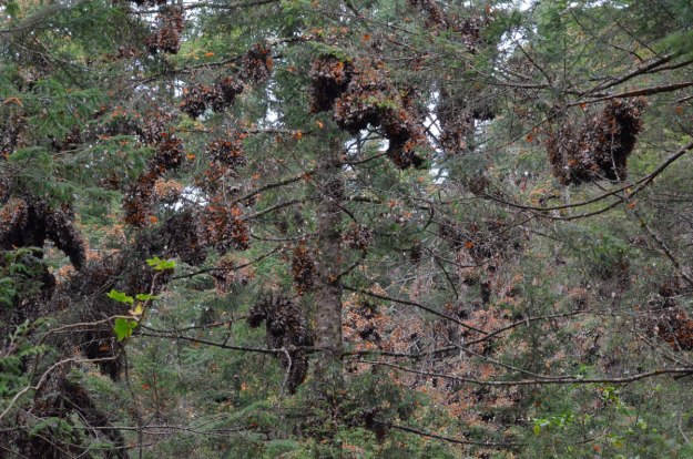 Monarch butterflies in massive flutters on fir trees at Cerro Pelon Monarch Butterfly Sanctuary, near Macheros, Mexico