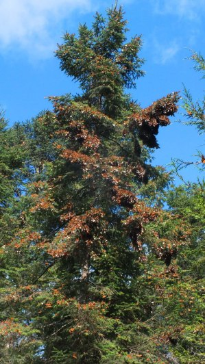 Monarch butterflies fluttering on a fir tree at Cerro Pelon Monarch Butterfly Sanctuary, near Macheros, Mexico
