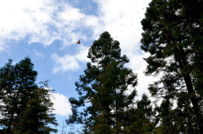 Monarch butterflies in flight at Cerro Pelon Monarch Butterfly Sanctuary, near Macheros, Mexico