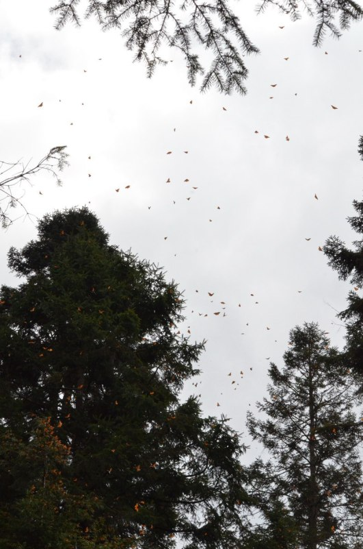 Monarch butterflies in flight above trees at Cerro Pelon Monarch Butterfly Sanctuary, near Macheros, Mexico