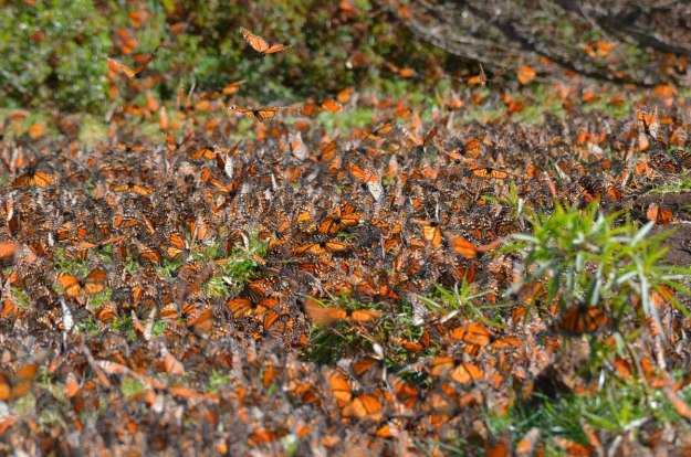 Monarch butterflies on the ground at El Rosario Biosphere Reserve, in Mexico