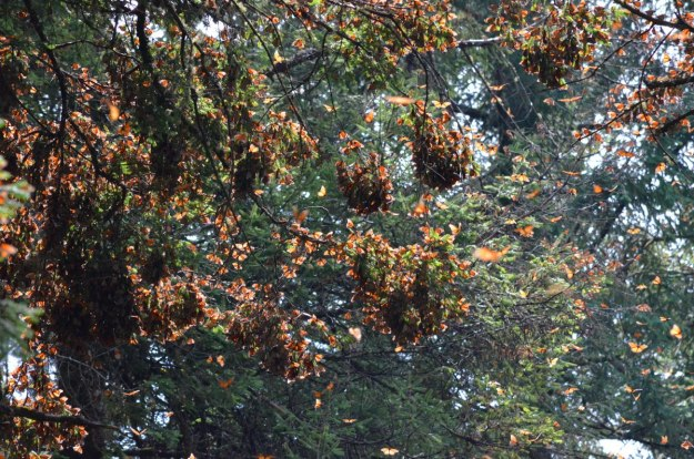 Monarch butterflies on tree limbs at El Rosario Monarch Butterfly Reserve, in Michoacán, Mexico