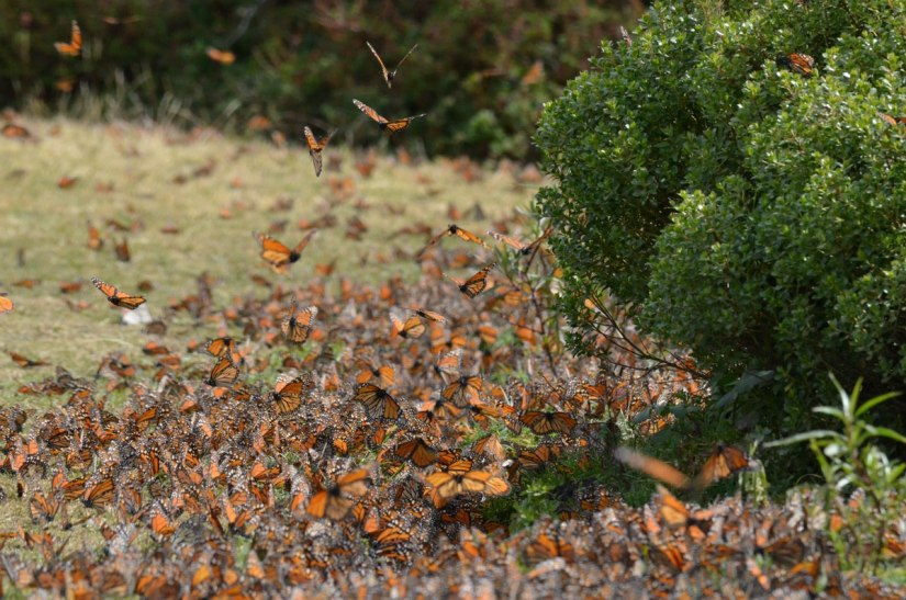 Monarch butterflies along the ground at El Rosario Monarch Butterfly Reserve, in Michoacán, Mexico