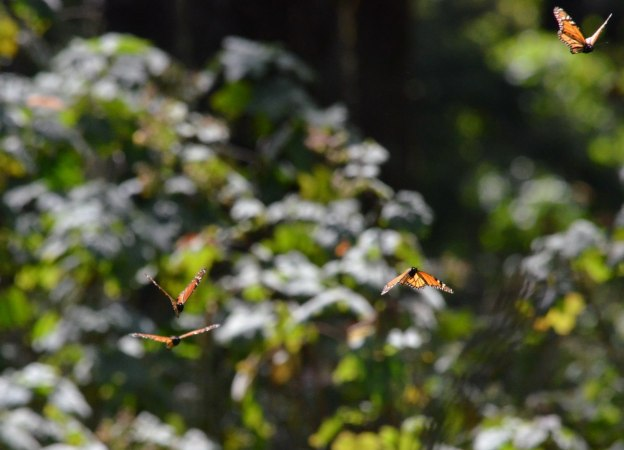 Monarch butterflies in flight at Sierra Chincua Butterfly Sanctuary near Angangueo, Mexico