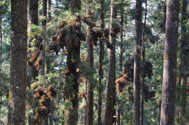 Monarch butterflies fluttering on trees at Sierra Chincua Butterfly Sanctuary near Angangueo, Mexico