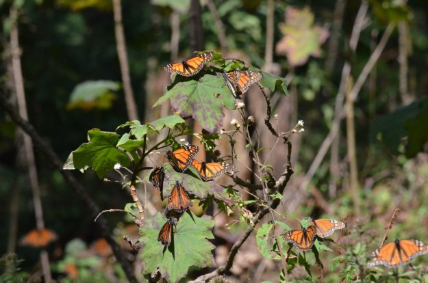 Monarch butterflies on leaves at Sierra Chincua Butterfly Sanctuary near Angangueo, Mexico