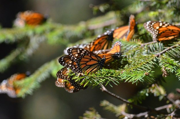 Monarch butterflies on a fir bough at Sierra Chincua Butterfly Sanctuary near Angangueo, Mexico