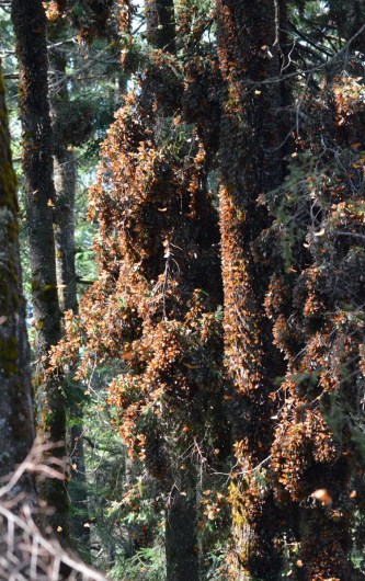 Monarch butterflies in massive flutter at Sierra Chincua Butterfly Sanctuary near Angangueo, Mexico