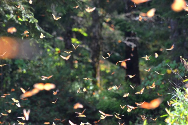 Monarch butterflies fill the air at El Rosario Monarch Butterfly Reserve, in Michoacán, Mexico