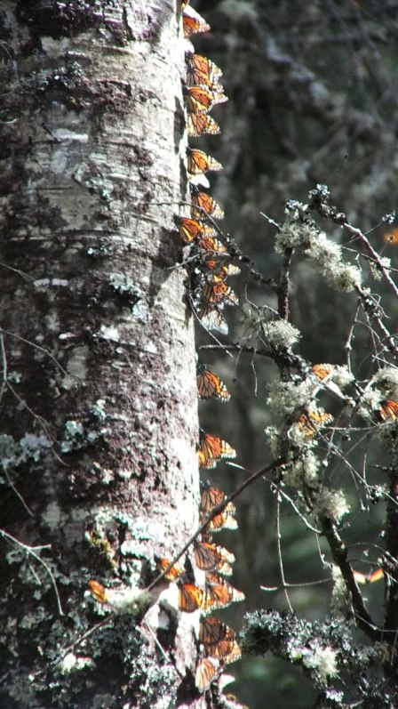 Monarch butterflies on tree trunk at El Rosario Monarch Butterfly Reserve, in Michoacán, Mexico