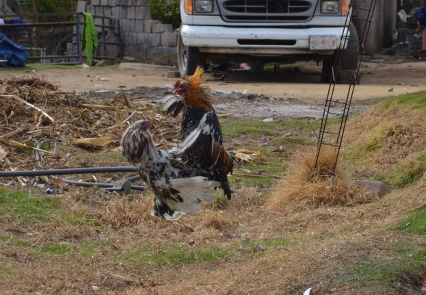 roosters cockfighting near angangueo - mexico 4